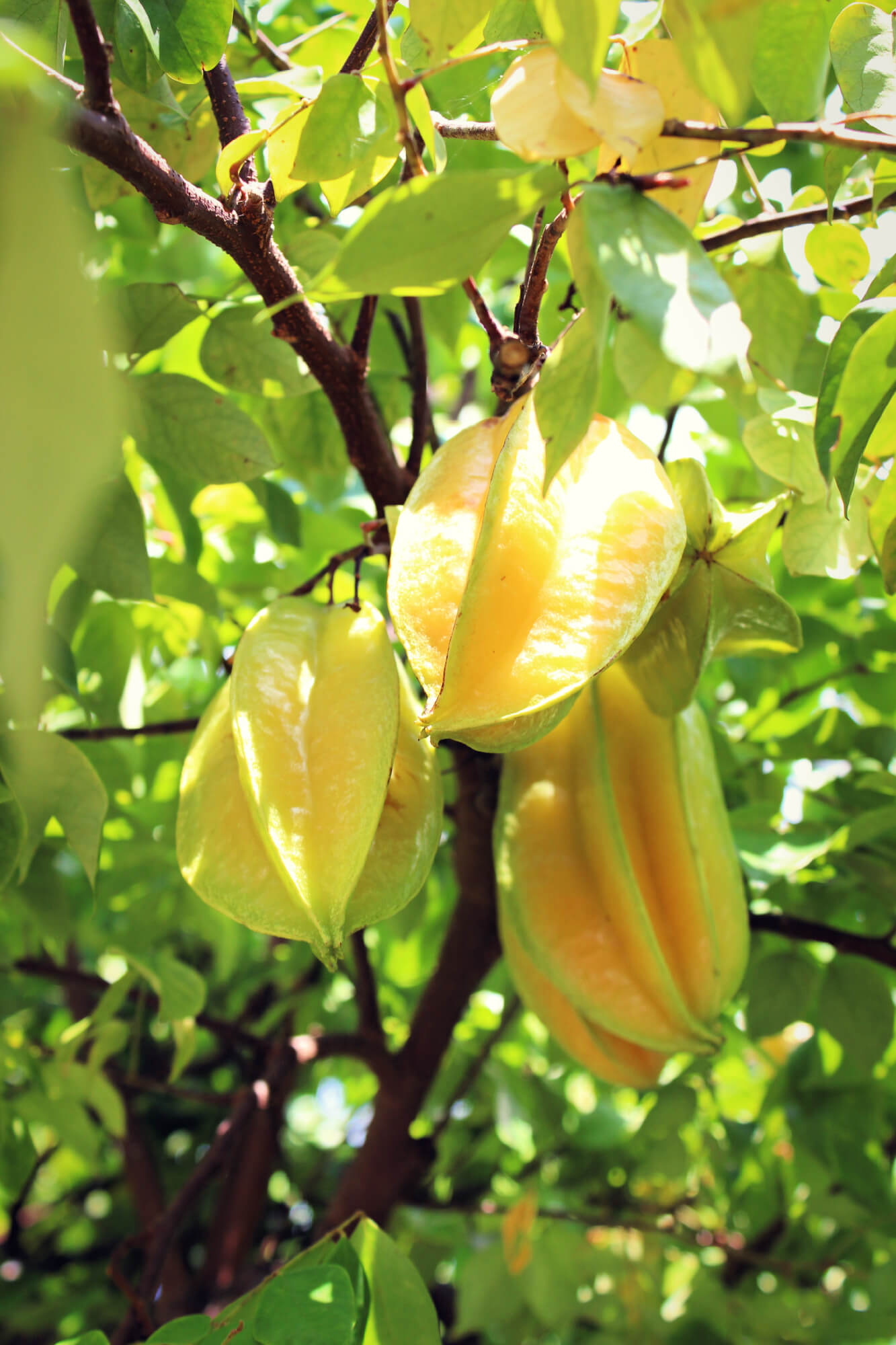Star Fruit at Palma Sola Botanical