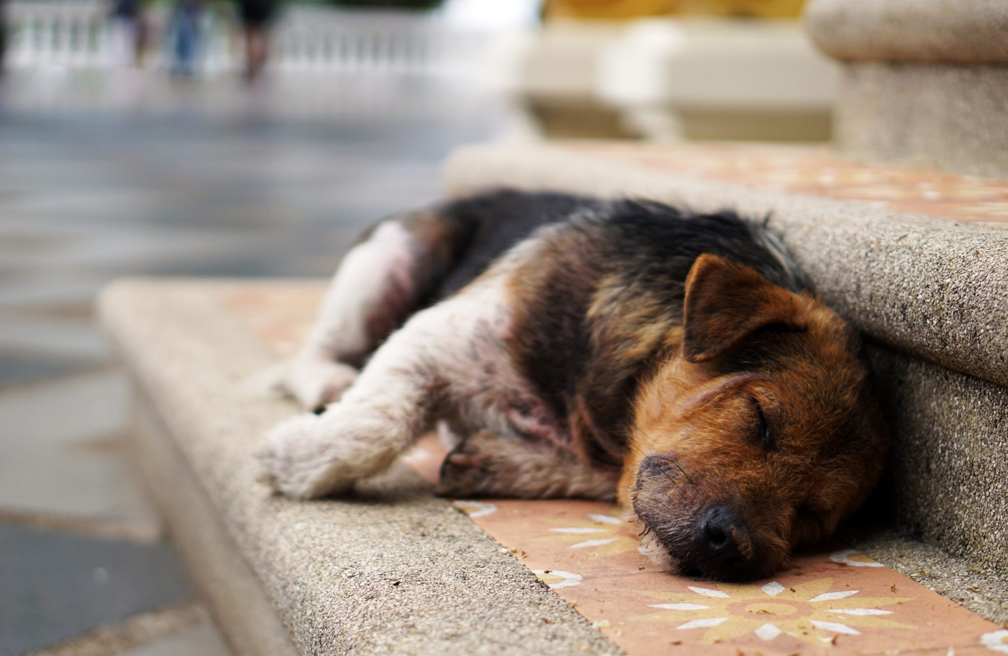 Sleepy Dog In Chiang Mai